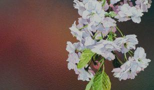 Cherry Blossom IX Matthew Phinn 23x58cm